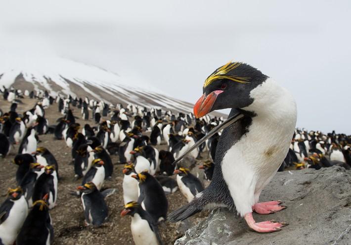 British Ecological Society image of penguin