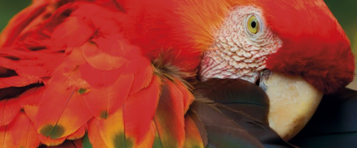 British Ecological Society image of a scarlet macaw