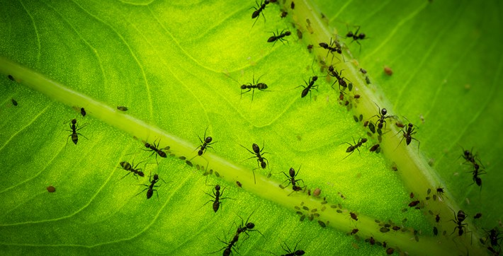British Ecological Society image of ants on a leaf