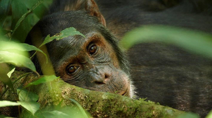 British Ecological Society image of chimpanzee's face