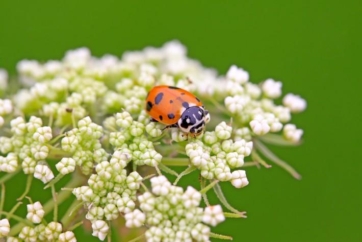 British Ecological Society image of ladybird