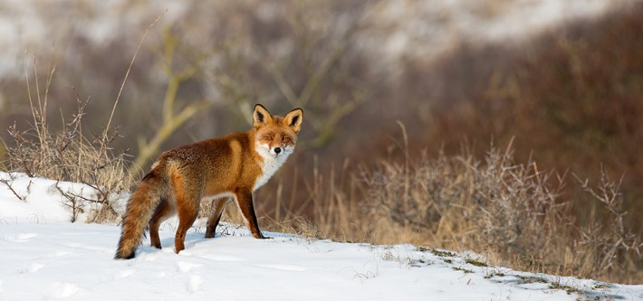 British Ecological Society image of a fox in the snow