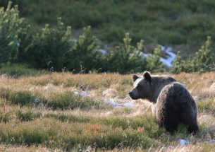 Press Release: How countries deal with bears in Europe