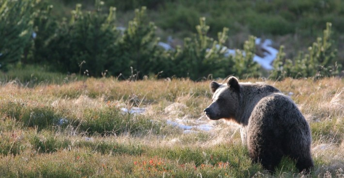 British Ecological Society image of a Brown bear in the Tatra Mountains, Polish Carpathians. Photo credit: Adam Wajrak