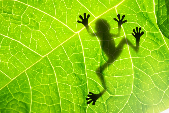 British Ecological Society image of a frog on a leaf