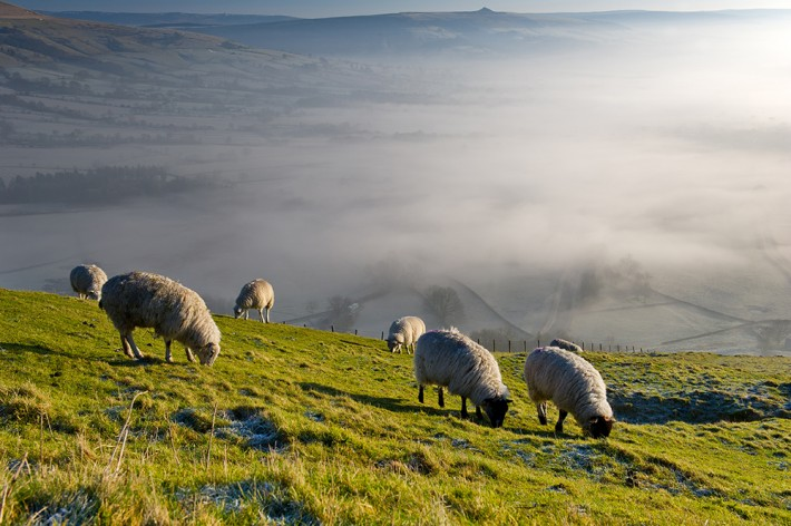 British Ecological Society image of sheep on uplands