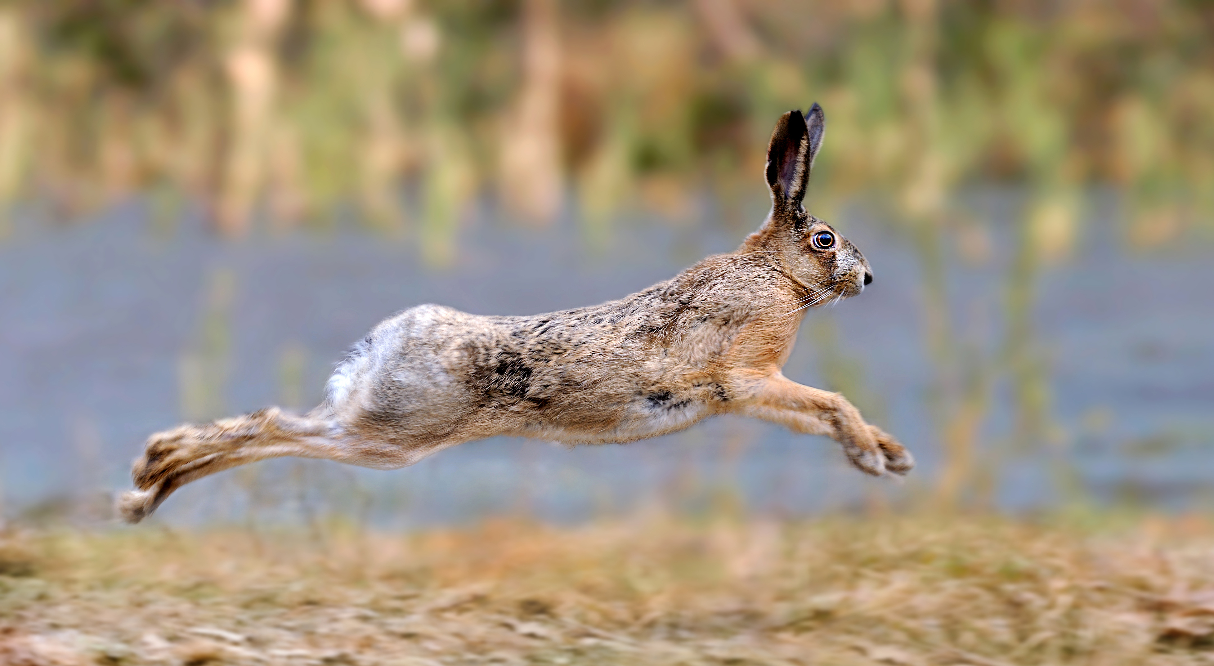 British Ecological Society image of a hare