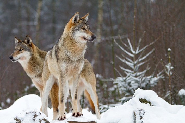 British Ecological Society image of a wolf