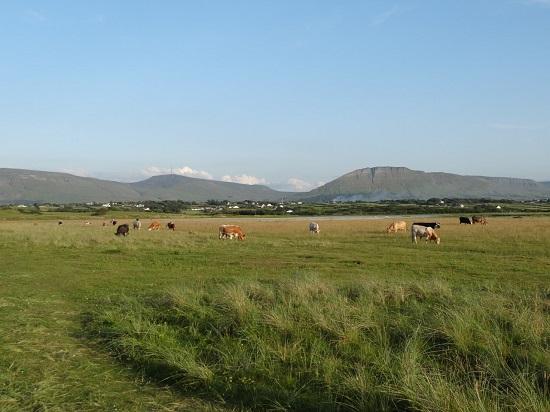 cows in field2
