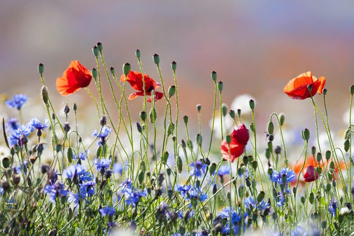 British Ecological Society image of poppies