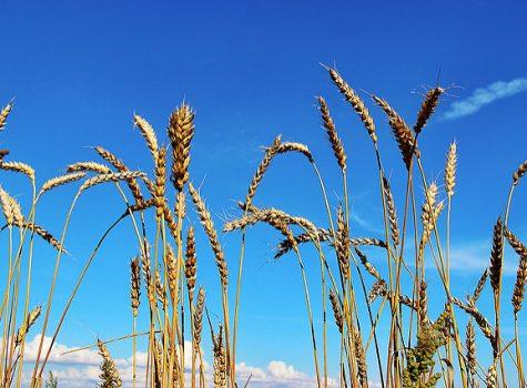 Healing the rift around GM crops