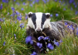 Press Release: New light on the secret life of badgers