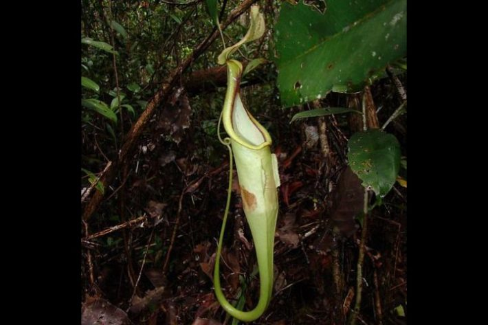 Nepenthes hemsleyana Photo credit: Vincent Bazile, Wikimedia Commons.