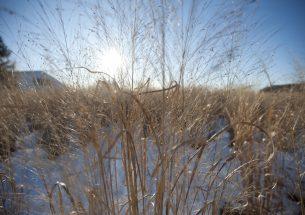 Press release: Wheat virus crosses over, harms native grasses