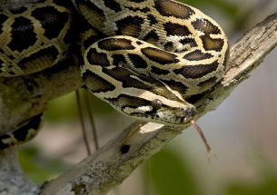 Press release: Research provides first signs of python effects on Florida ecosystems