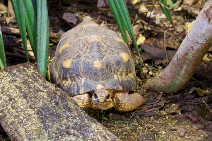 Radiated tortoise. Photograph by Mike Peel (www.mikepeel.net).