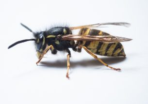 Press Release: What will the wasp plague be like this year?