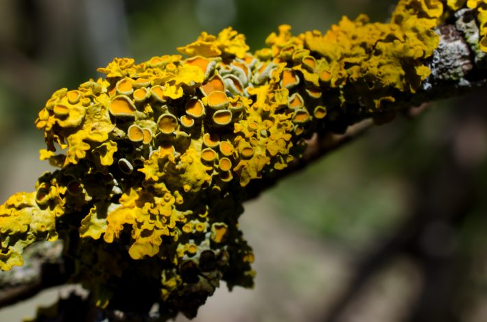 Xanthoria parietina is used as an indicator species. It is a Nitrogen tolerant lichen.