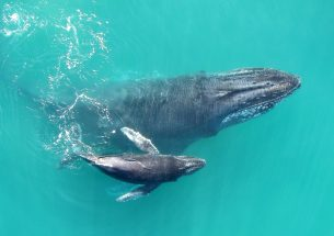 Press Release: 'Whispering' keeps humpbacks safe from killer whales, study finds