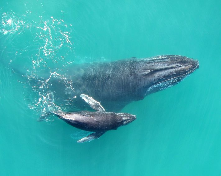 Mother-calf pair in Exmouth Gulf (credit, Fredrik Christiansen)