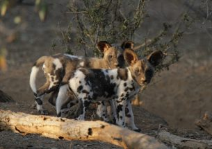 Press Release: Hot dogs - is climate change impacting populations of African wild dogs?