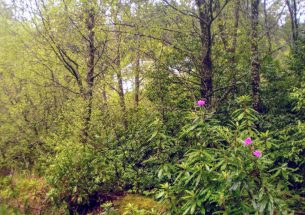 Press Release: Clear it – but will they come? Native plants need re-seeding after rhododendron removal, study finds