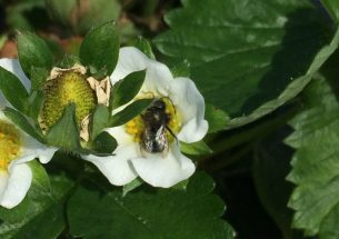 Press Release: Using mason bees to provide pollination services on strawberry farms
