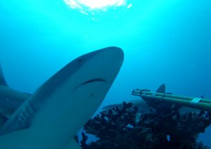 Press Release: Humans - the disturbing neighbours of reef sharks