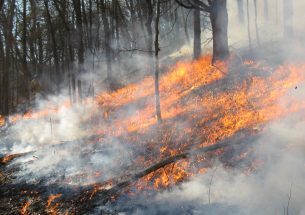 Controlled fires don't eliminate invasive tree