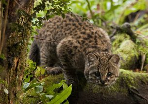 Habitat fragmentation a bigger threat to Chile's güiña wildcat than persecution by humans