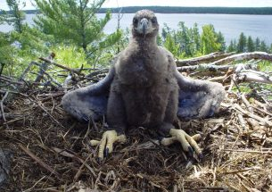 Scouting the eagles - Proof at last: protecting nests aids reproduction