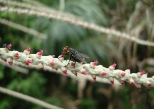 Native forest habitats promote pollinators and fruit production of Açaí palm in the Amazon river delta