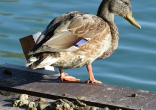 Duck faeces shed light on plant seed dispersal