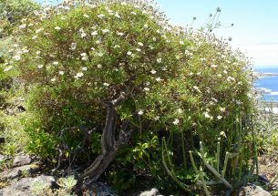 Did tree-forming daisies evolve due to drought stress?