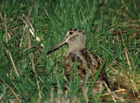 Shooters urged to take 'cautious approach' when shooting woodcock