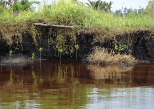 Tropical peat swamps: Restoration of endangered carbon reservoirs