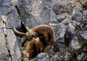 Hunters prefer ibex with long horns