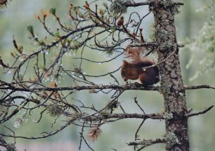 The presence of invasive grey squirrels causes increased chronic stress in native red squirrels