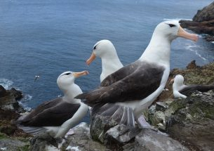 Rising sea temperatures threaten survival of juvenile albatross
