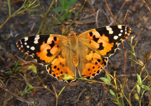 Painted lady's roundtrip migratory flight is longest recorded in butterflies