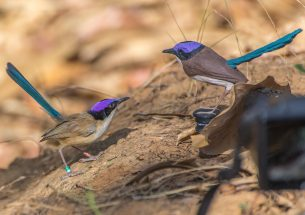 The power of purple - male birds use gaudy colours to warn and defeat rivals