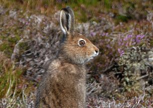 Severe declines in mountain hares on Scottish grouse moors