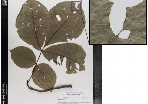 Study uses herbarium samples to understand link between climate change and insect herbivory