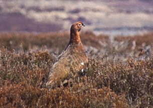 Hen harriers and red grouse: Finding common ground in a persistent conflict
