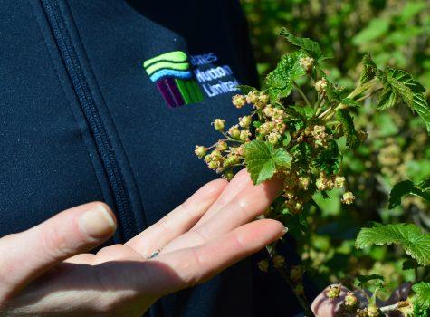 Warmer winters threaten UK blackcurrant farming