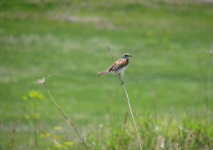 New study on grassland-bird nest survival published in the Journal of Applied Ecology