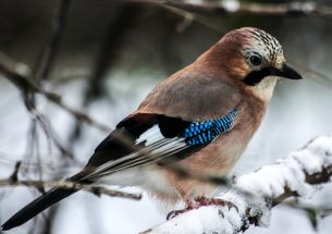 Volunteer ornithological survey shows effects of temperatures on Eurasian jay population