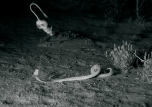 Videos reveal how the seemingly defenseless kangaroo rat contends with deadly rattlesnakes