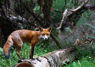 New research a game changer for fox control