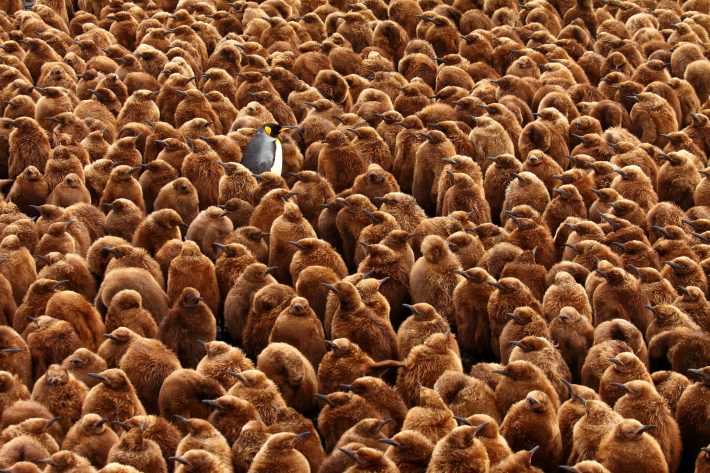 An adult penguin stands alone among a sea of chicks